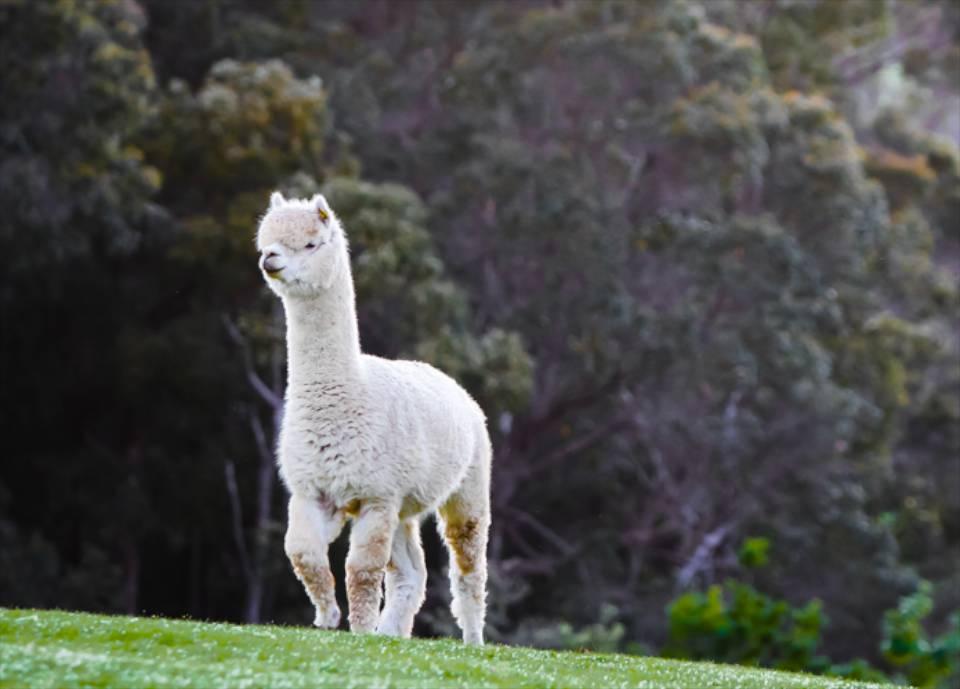 alpaca-grass