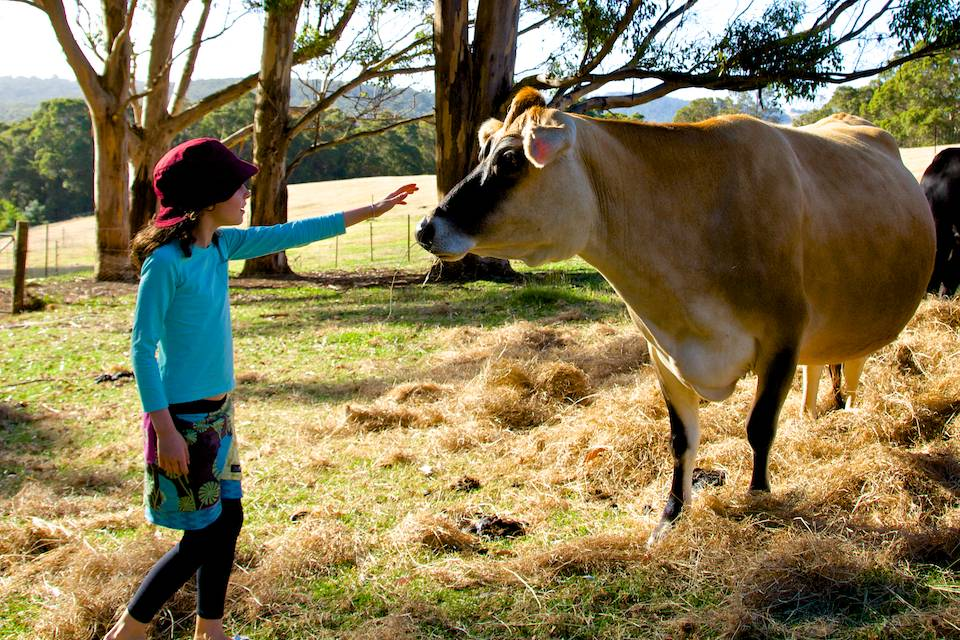 A young girl approaching a Jersey cow with her hand outstretched.